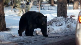 black bear in winter
