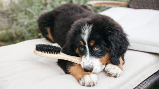 Amazon Prime Day dog deals: Bernese Mountain dog sat on lounge chair outside with handle of dog brush between teeth