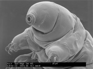 microscope image of a tardigrade, or water bear.