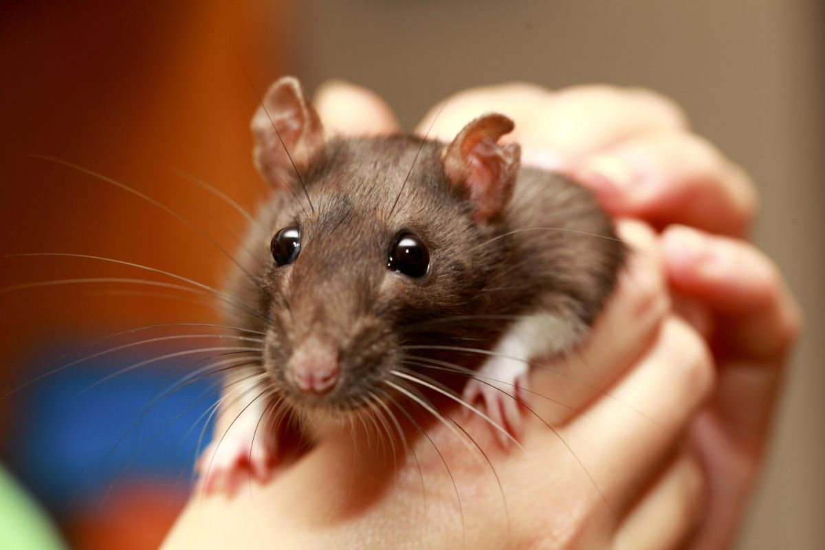 Case of 'Rat Bite Fever' Reminds Us That Even Pet Rats Carry Loads of  Diseases   Live Science