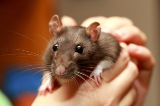 They may look cute, but pet rats can be dangerous.