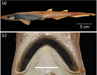 A closeup of the skinless shark's body and toothless mouth