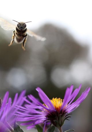 honeybee flying toward a purple flower.