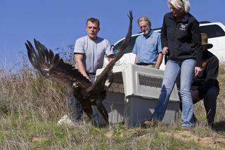 golden eagle release San Diego Zoo