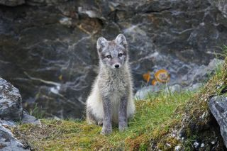 Here, a young Arctic fox (<em>Vulpes lagopus</em>) looking for food. This is not the Arctic fox that made the lengthy journey from Svalbard to Ellesmere Island in Canada.