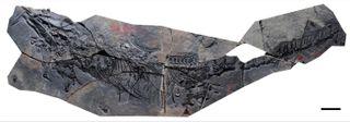 thalattosaur fossil