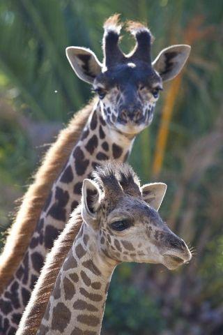 giraffe-calf-111014-02