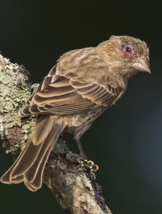 Infected House Finch