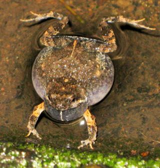sexual selection, intelligence, mating, attraction, túngara frogs, fringe-lipped bat, mating calls, predation,