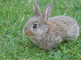rabbit-fever-tularemia