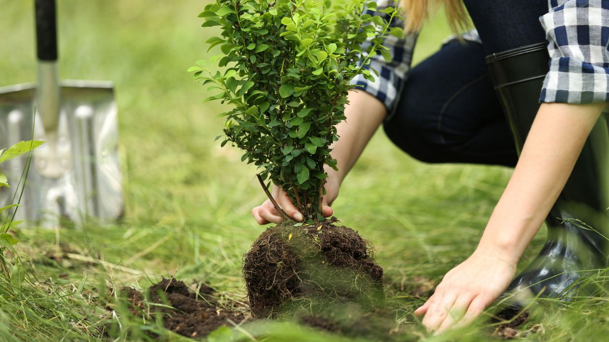 Learn how to move a tree with these top tips for replanting trees and shrubs