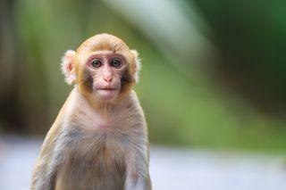 Portrait of a Baby Rhesus macaque monkey (Macaca mulatta).