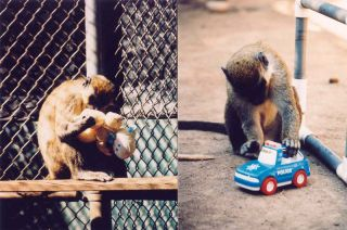 A female vervet monkey conducting an anogenital inspection (examining the genital area of the doll in an attempt to determine whether it is male or female), and a male vervet monkey pushing a police car back and forth.