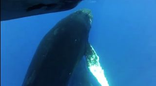 Humpback whale approaches boat in Hawaii