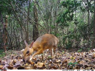 A silver-backed chevrotain was caught on a camera trap as it wandered about the forest.