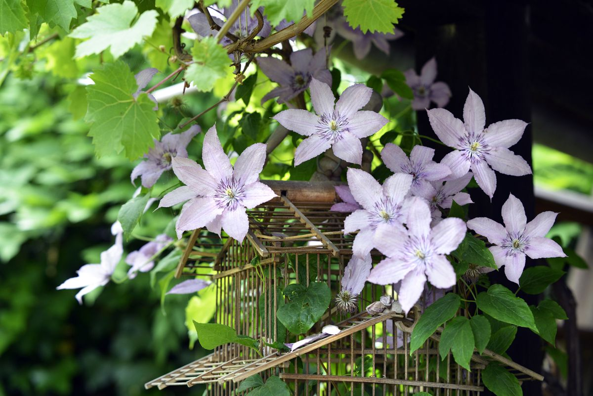 How to prune clematis – everything you need to know for beautiful blooms
