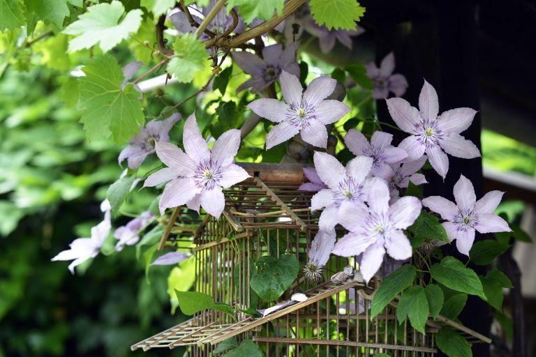 how to prune clematis - clematis flowering on wooden birdcage