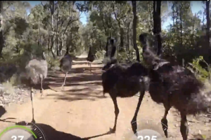 watch cyclist drafts behind emus while riding in australia