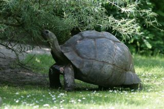 An Aldabran giant tortoise in the Seychelles Islands.