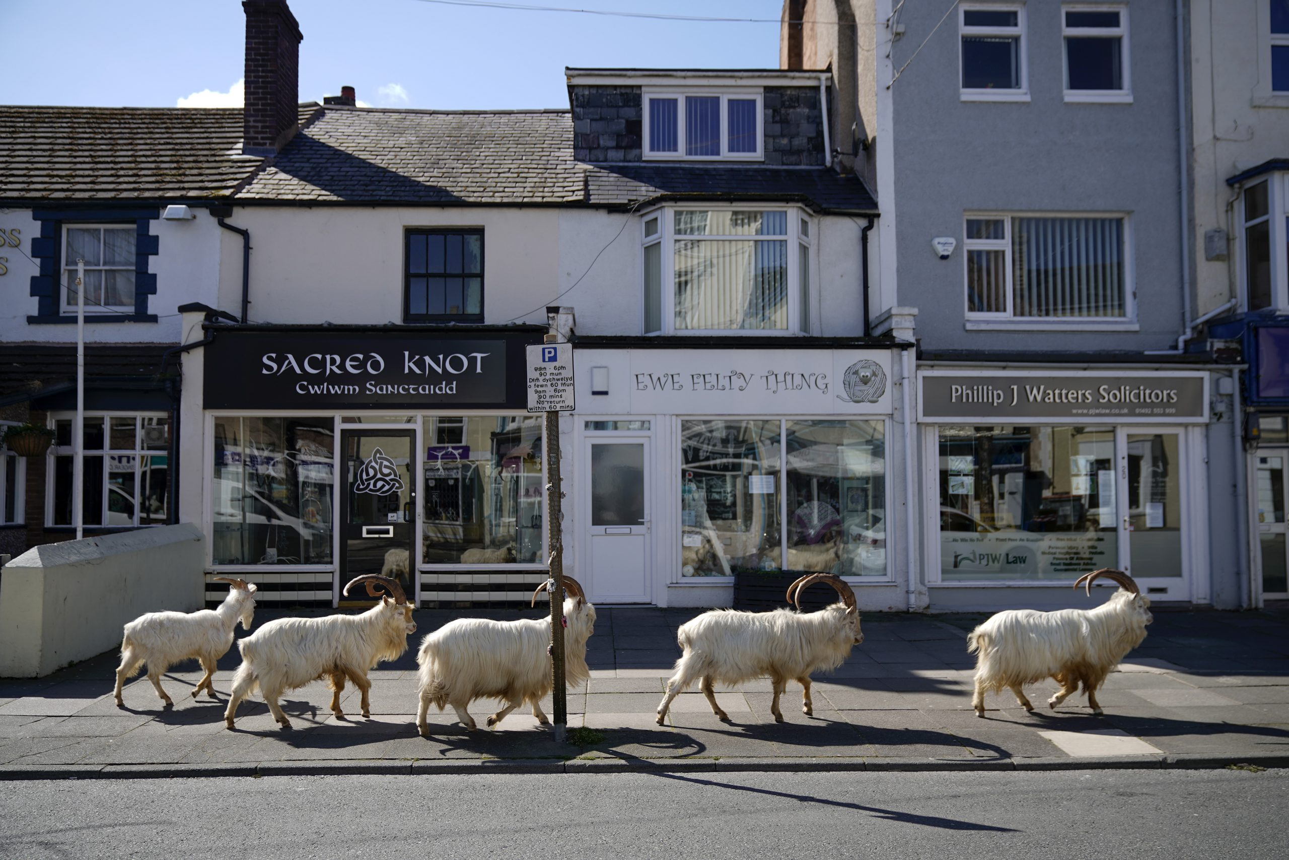 goats in Wales
