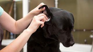 clean a dog's ear