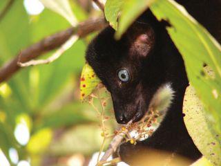 A male blue-eyed black lemur ( Eulemur flavifrons ) in Sahamalaza–Iles Radama National Park.