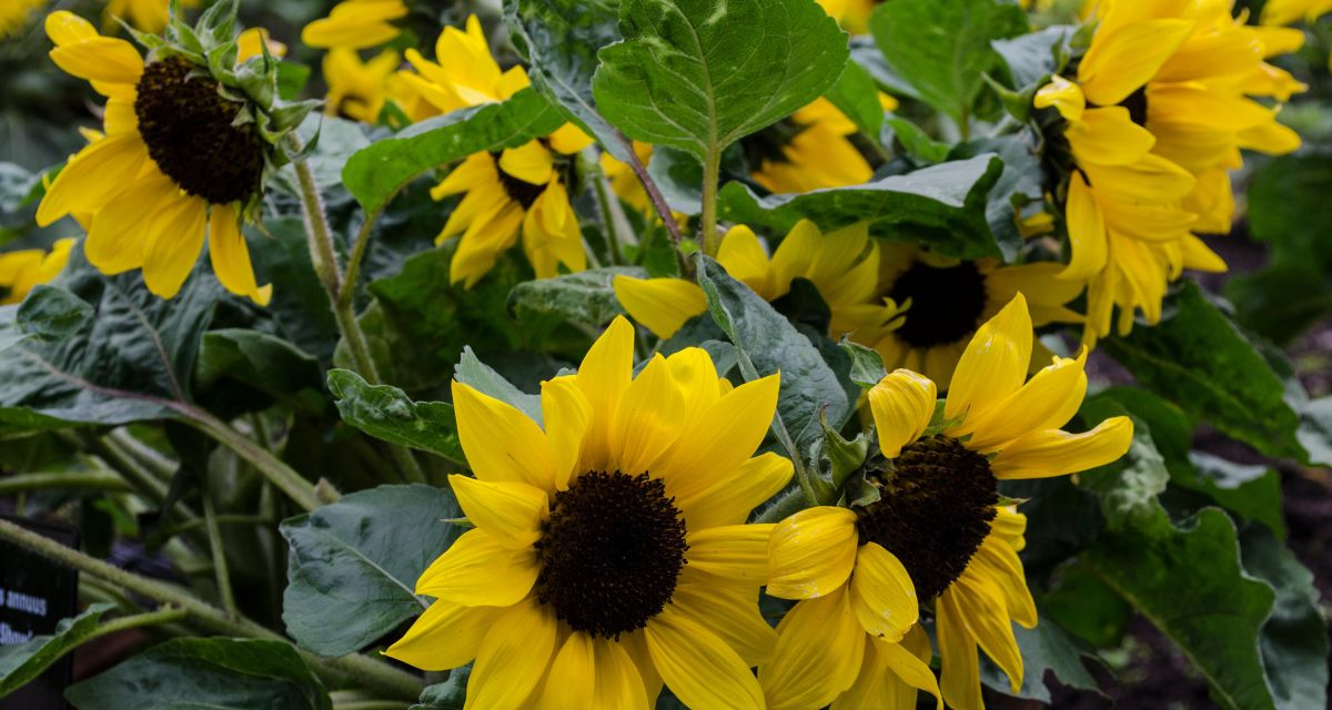 How to grow sunflowers – a step-by-step guide