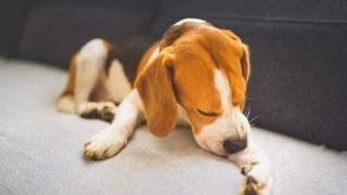 A beagle scratching because he needs the best dog food for allergies