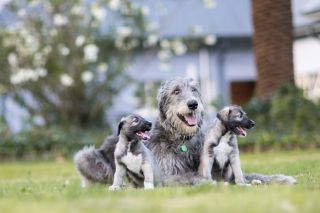 the identical twin Irish wolfhound puppies, along with their mother.