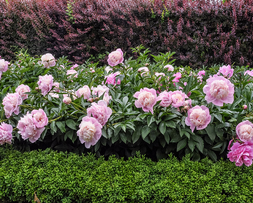 Things you didn't know about peonies – Planting peonies