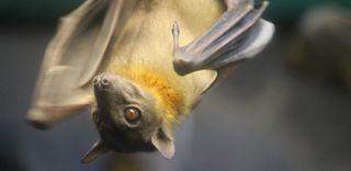 Bat hanging, disease
