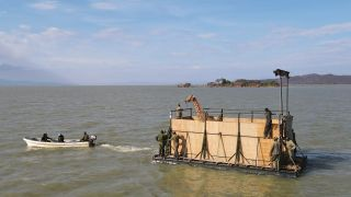 Since December 2020, nine giraffes have been carried by barge across the waters of Lake Baringo.