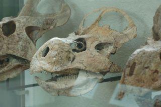 Protoceratops andrewsi skull