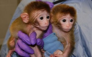 Roku and Hex, the first chimeric monkeys.