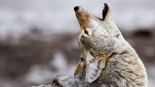A side view picture of a coyote howling.