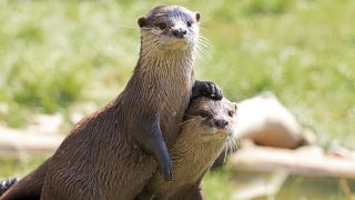 A pair of asian river otters (Aonyx cinereus) unrelated to the North American river otter group attacking people and dogs in Alaska.