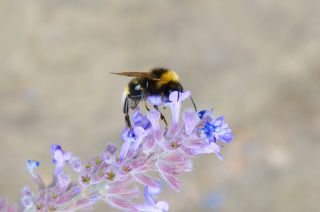 bees, pollinators, Nectar sipping