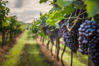 Gapes in a vineyard.