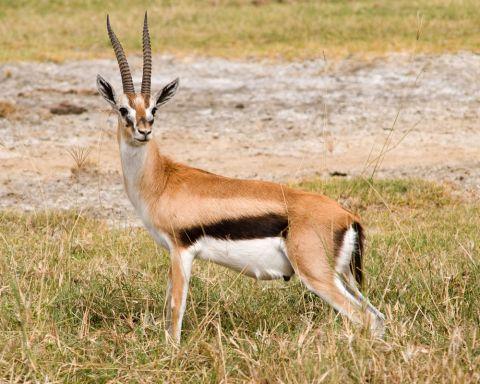 Gazelles: Facts & Pictures | Live Science