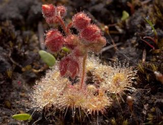 the carnivorous sundew plant growing on the foothills of Mt. Cameron, in northeastern Tasmania.