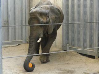 Kallie, African Elephant