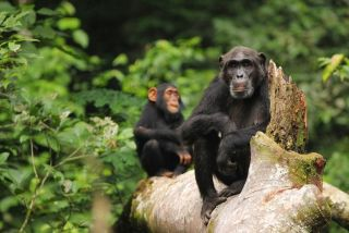 A chimpanzee mother rests with her juvenile daughter on a fallen tree at Ngogo in Kibale National Park, Uganda.