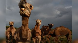 Camels are pictured on an Australian camel dairy farm in April 2016. Camels are not native to Australia, and thirsty feral camels have become a significant problem in recent months amid severe drought and fires.
