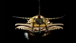 Head of a Bobbit worm (Eunice aphroditois), photographed in the Lembeh Strait in North Sulawesi, Indonesia.