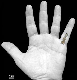 The OH 86 hominin phalanx overlaid on a modern human hand.