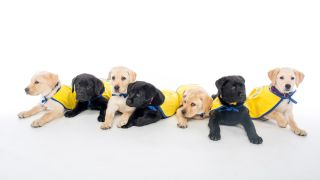 Retriever puppies from the nonprofit Canine Companions for Independence participated in the study.