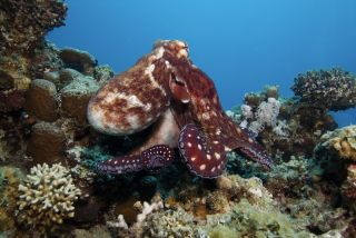 A red octopus in a reef.