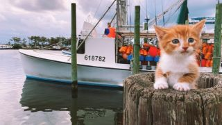 Marlin the swimming cat sitting on a wooden pillar on the dock with fishing trawler behind him