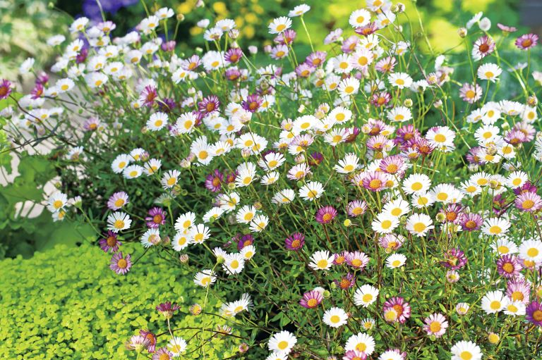 Erigeron Plant - Sea of Blossom from Suttons