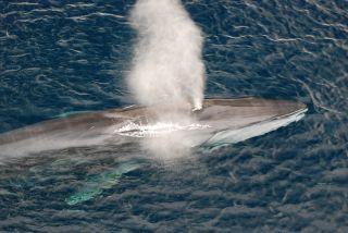 fin whale swimming